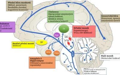 Dýchání a mozek: Pozornost zaměřená na dýchání posiluje zdraví mozku